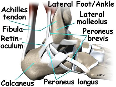 Ankle Anatomy | eOrthopod.com
