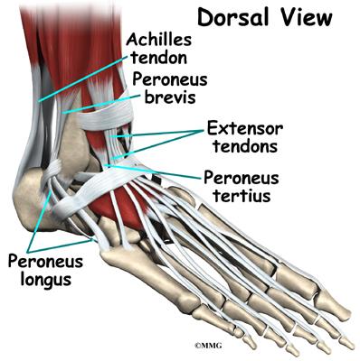 Ankle Fusion Eorthopod