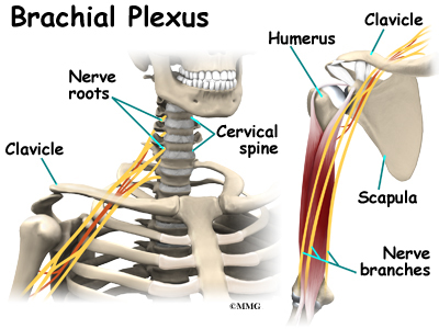 Cervical burners and stingers brachial plexus injuries cervical burners and stingers ccuart Image collections