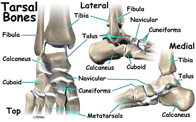 Tarsal bone anatomy