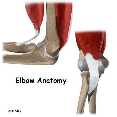 Elbow Anatomy Eorthopod