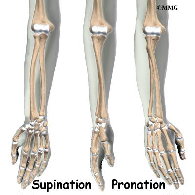Supination Vs Pronation Arm 64599 | INFOBIT