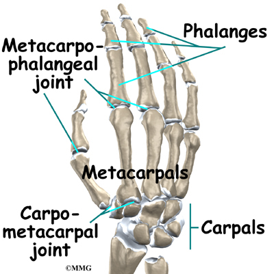Joints of fingers anatomy