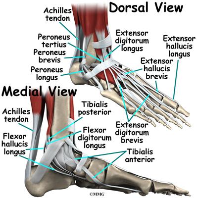 Adult Acquired Flatfoot Deformity | eOrthopod.com