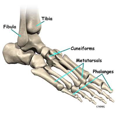 foot anatomy | eorthopod, Human Body