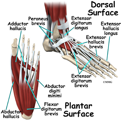 Foot Anatomy Eorthopod