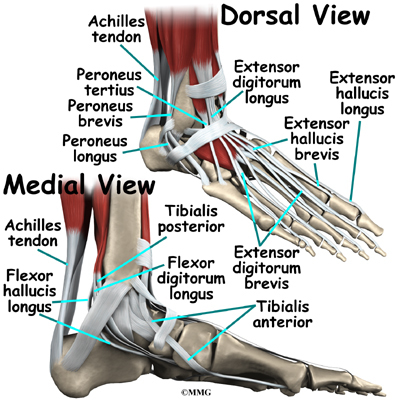 Foot Anatomy Eorthopod