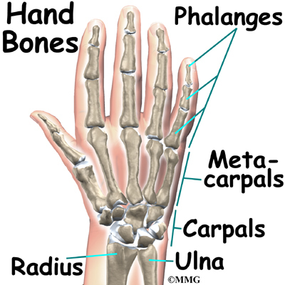 Anatomy hand pictures