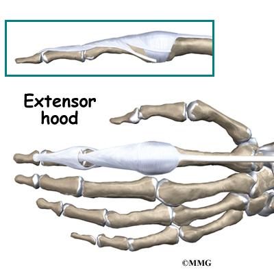 Hand Anatomy   eOrthopod.com