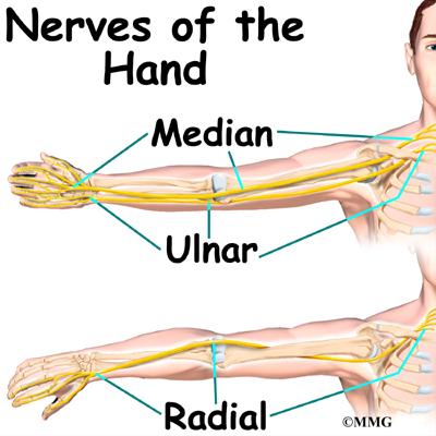 Hand Anatomy Eorthopod