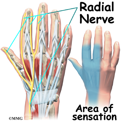 Hand anatomy nerves