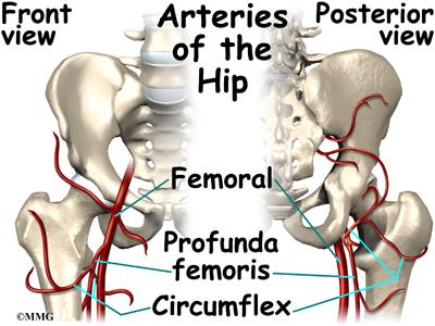 Hip Anatomy | eOrthopod.com