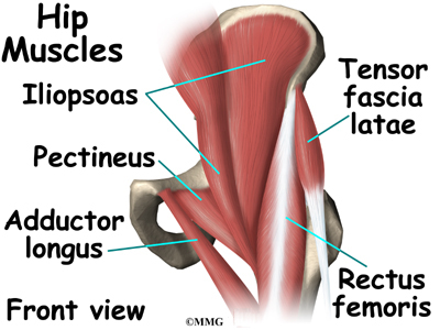 Anatomy of the hip tendons and ligaments