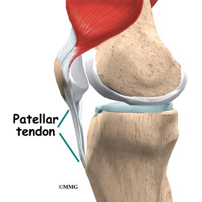 knee anatomy   eorthopod, Muscles