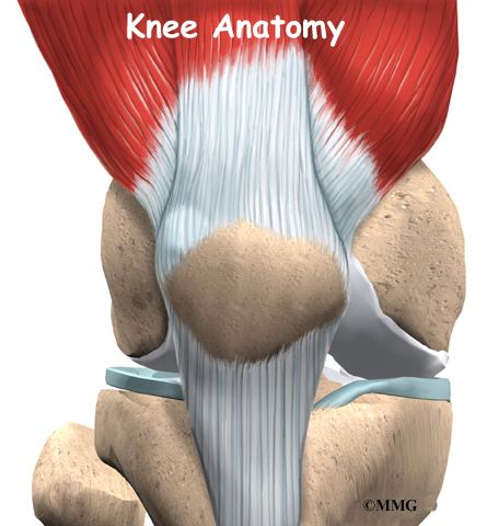 knee anatomy | eorthopod, Muscles