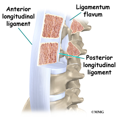 Vertebrae Ligaments Diagram - Search For Wiring Diagrams •