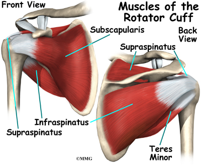 "the musculotendinous cuff A compendium of rotator cuff imaging  • rotator cuff muscles/tendons,  • form musculotendinous ""cuff"" that inserts on the proximal."