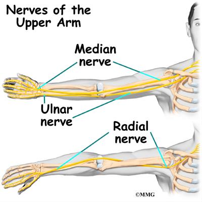 Arm nerve anatomy