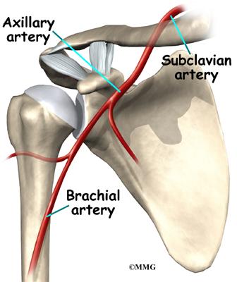 Shoulder Anatomy Eorthopod