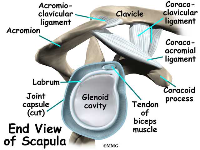 Shoulder Ligaments Anatomy Gallery Human Body Anatomy