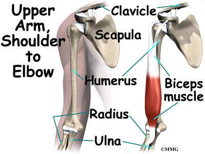 Biceps Rupture Eorthopod