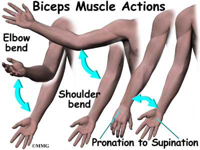 Biceps Rupture | eOrthopod.com