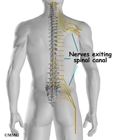 Cervical Spine Anatomy Eorthopod