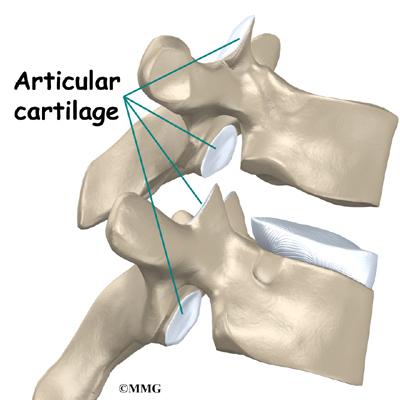 Thoracic Spine Anatomy   eOrthopod.com
