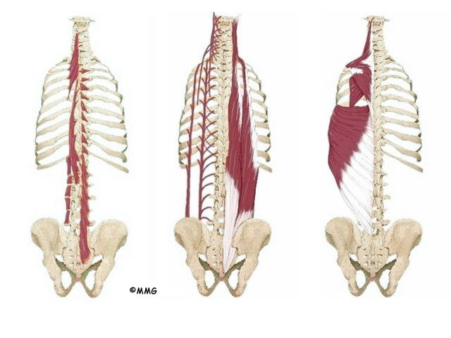 Thoracic muscles anatomy