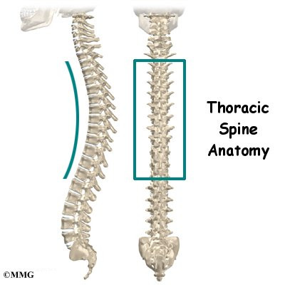 thoracic spine anatomy | eorthopod, Human Body