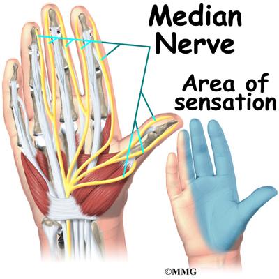 Wrist Anatomy   eOrthopod.com