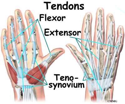 wrist anatomy eorthopod com Body Tendons Diagram Left Hand Tendons Diagram #20