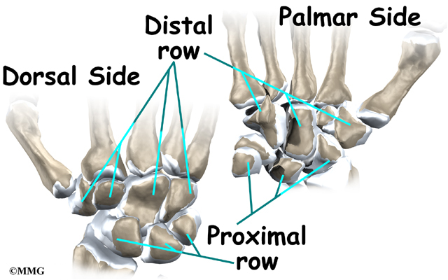 15878408 likewise Bones Of Upper Limb also Anatomy Of Brachial Plexus additionally 7855783 likewise Elbow 26770735. on dorsal side of forearm